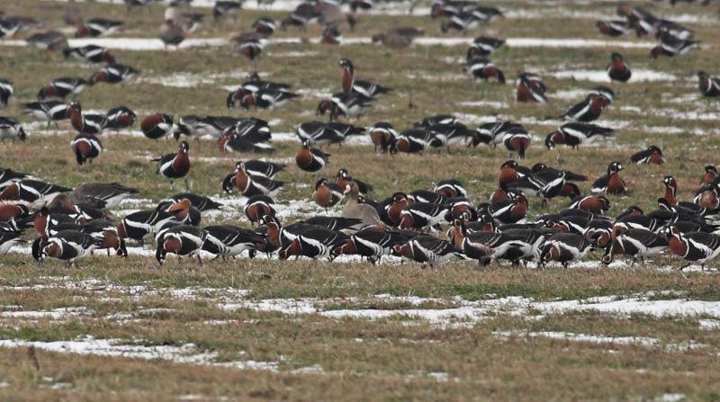 Зимуващи гъски