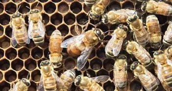 Изкуствено роене на пчелите