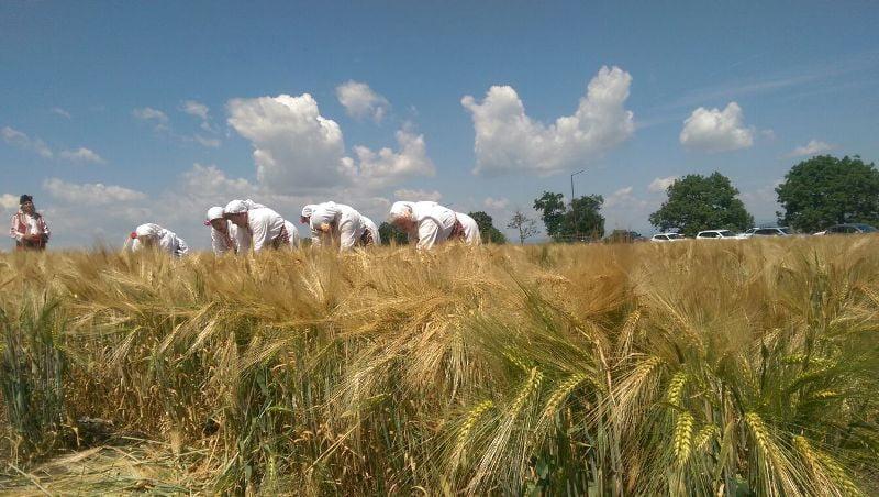 Жътва на пшеница