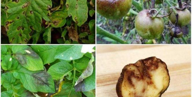 Мана по доматите и картофите