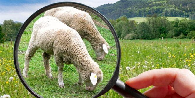 Млеконадой от овце