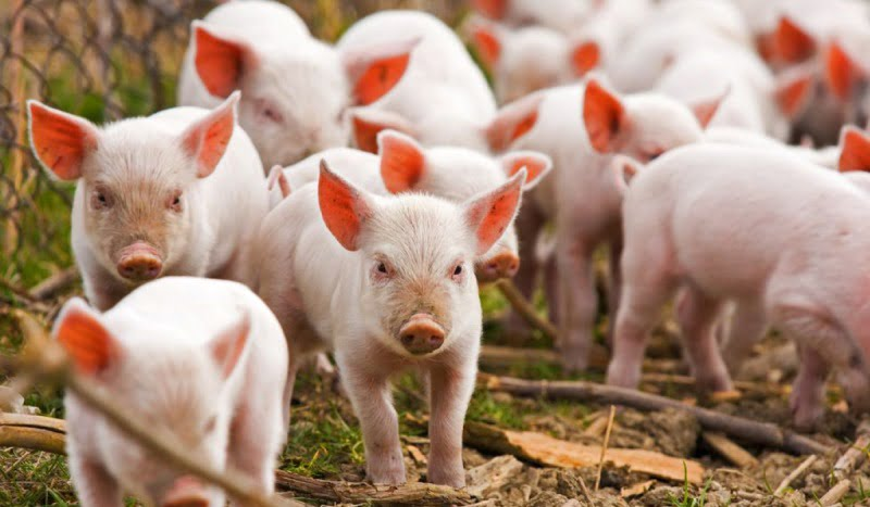 Свине, прасета