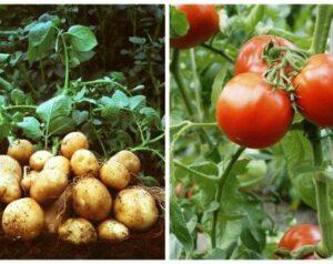 Картофи и домати