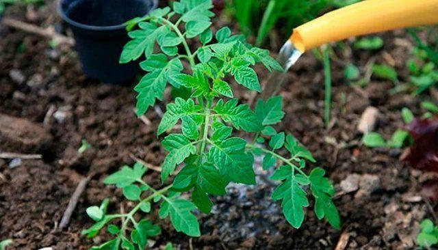 Наторяване на домати с йод