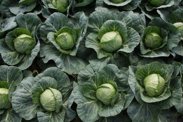Наторяване на зеленчуци с йод