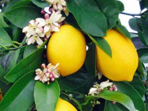 Лимон в домашни условия