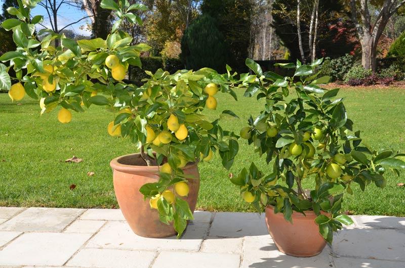 Лимон в саксия