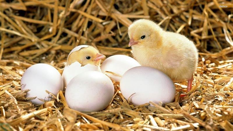 Излюпване на пилета