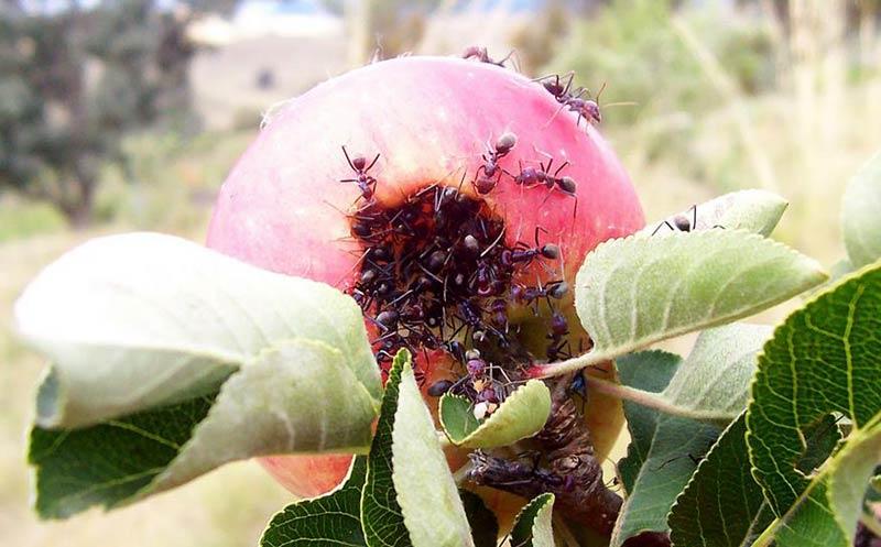 Мравки по овошките