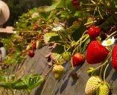 Британските ферми остават без работниците от България и Румъния