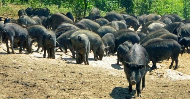 Спасяват Източнобалканската свиня със стада като в Ноев ковчег