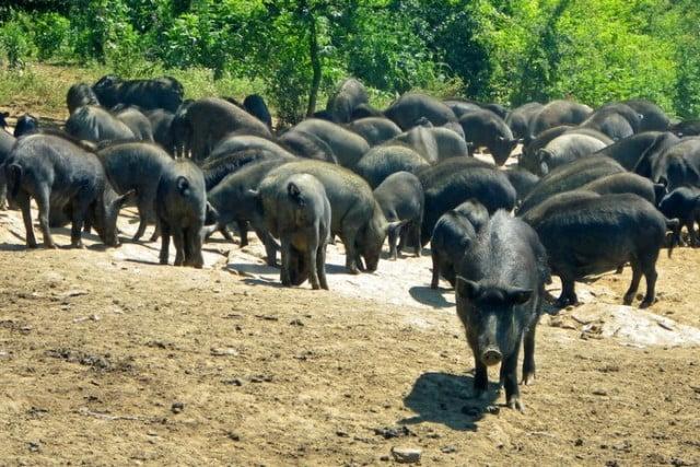 Източнобалканска свиня