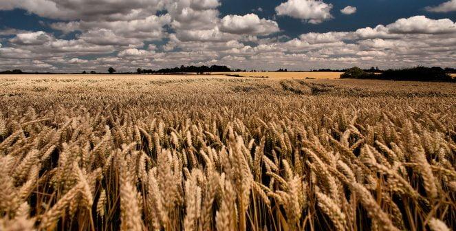 Добивите от пшеница се сринаха с над 70 на сто в Добричка област