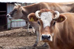 Българско родопско говедо