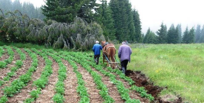 Петър Канев: Заради субсидии опорочиха и производството на картофи