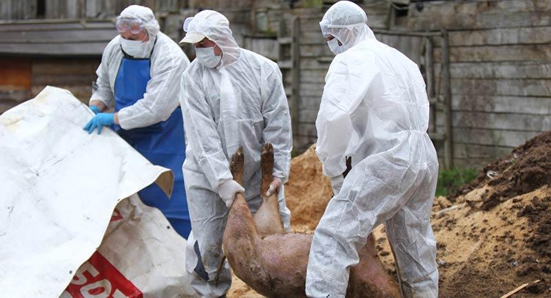 Африканска чума по свинете Румъния