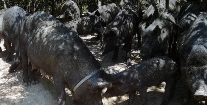 Източнобалканска свиня Кульо Кулев
