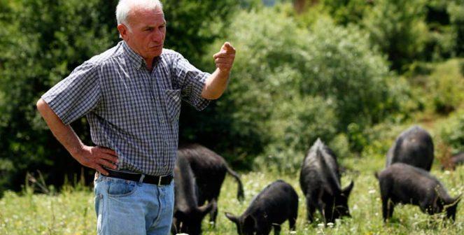 Кульо Кулев, Източнобалканска свиня