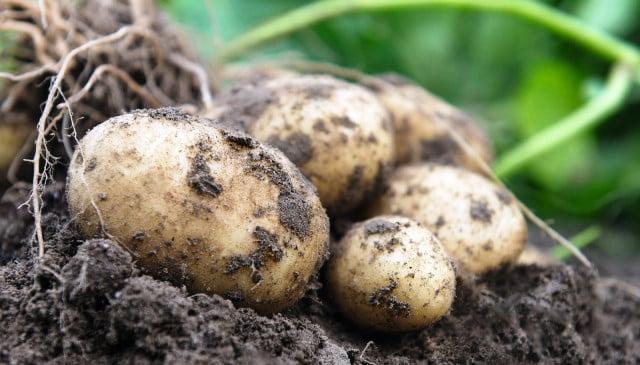 Семе картофи