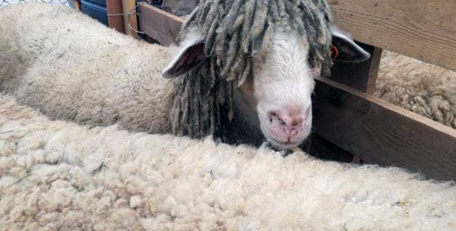 Изложба на бели и вакли маришки овце