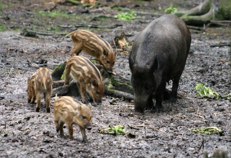 Майка свиня с малки прасенца дива свиня