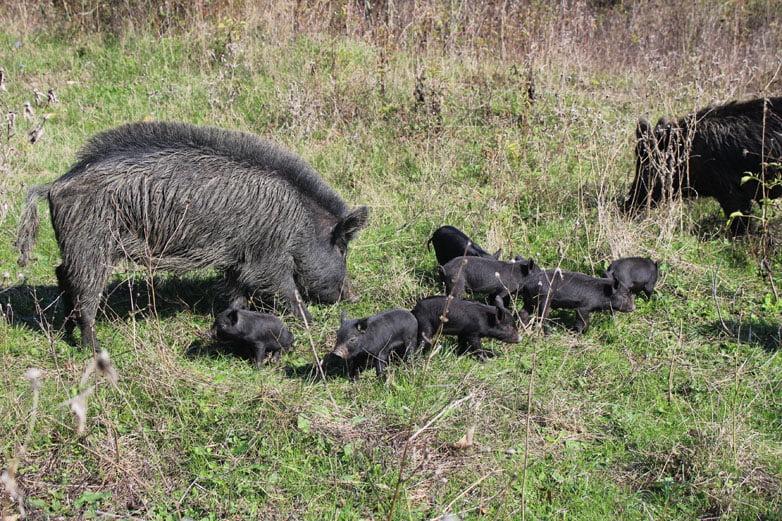 Майка свиня с малки прасенца ИзточноБалканска свиня