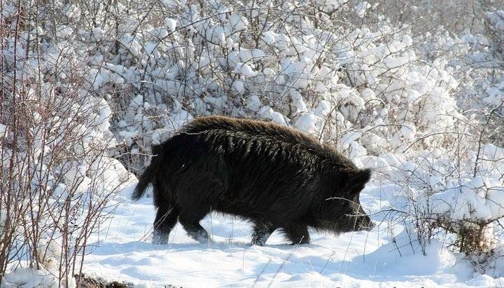 Мъжки екземпляр Източнобалканска свиня