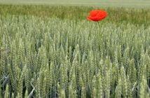 Плевели пшеница жито