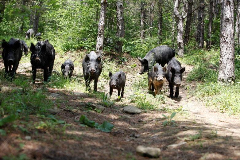 Стадо Източнобалканска свиня