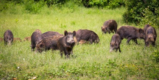 Африканска чума при диви свине засечена в област Добрич