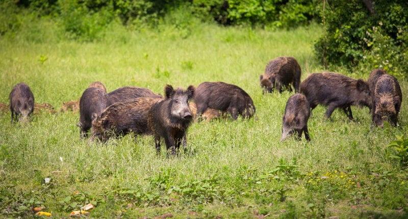 Диви свине