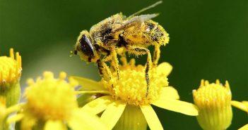 Опрашване пчели
