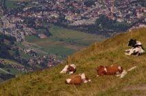 Планински ферми