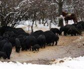 Защо Източнобалканската свиня е с висока себестойност?