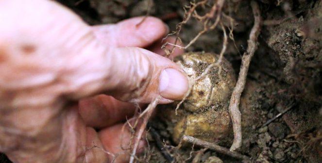 Депутати внесоха закон за трюфелите, ще опазват находищата