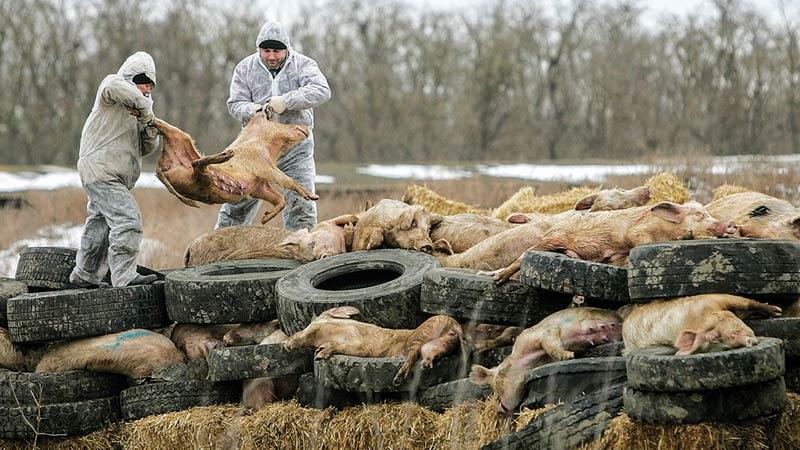 Африканска чума по свинете