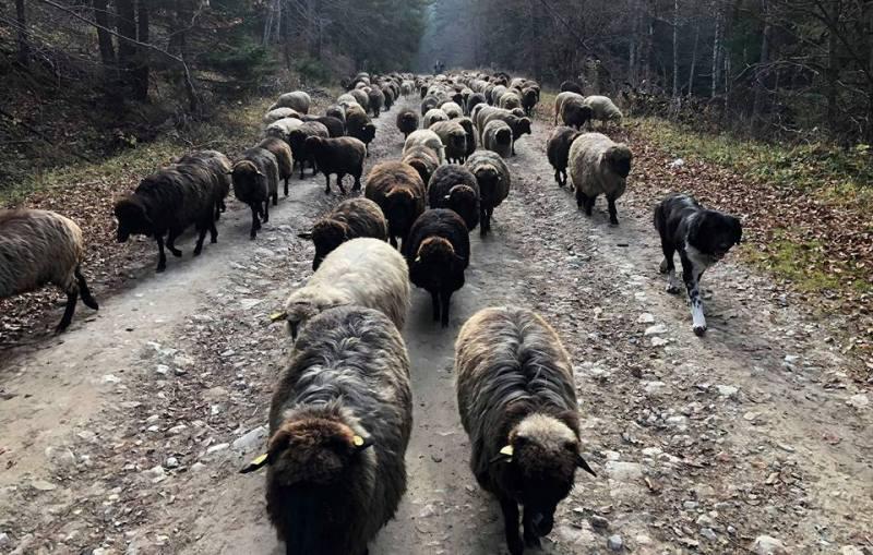 овцете на Вършилови