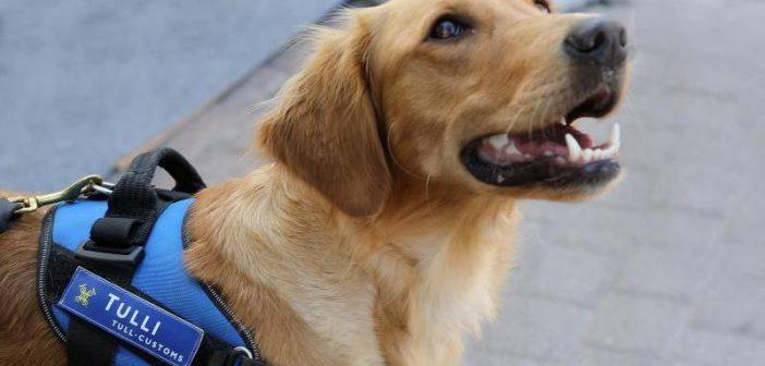 Айно куче за откриване на храни Африканска чума по свинете