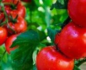 Очаква се увеличено производство на домати, краставици и пипер
