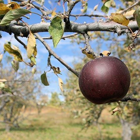 Ябълки Arkansas Black