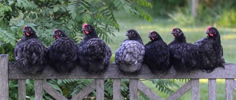 Кокошки