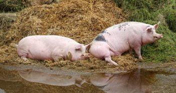 Плевенска област пламна от Африканска чума по свинете