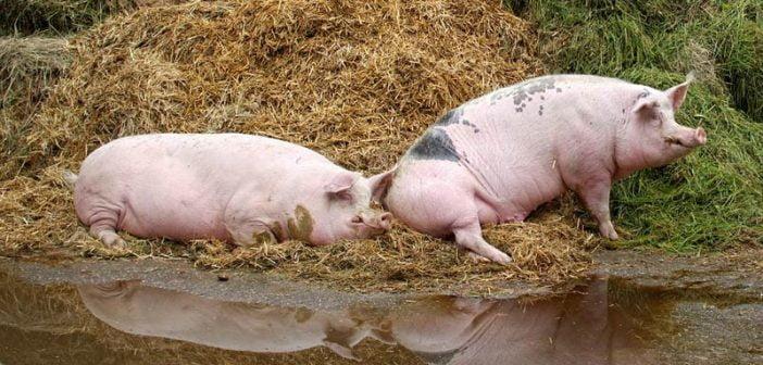 Африканската чума порази четвърти свинекомплекс в Русенска област