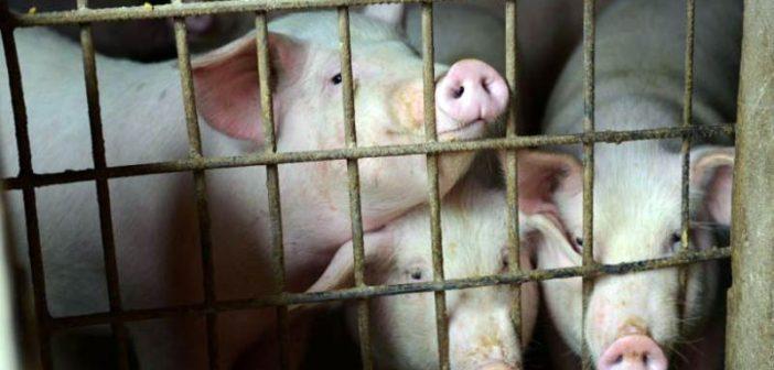 Прасета, свине