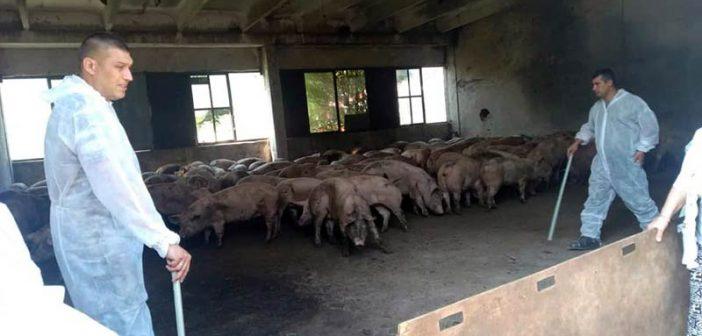 Умъртвяване на прасета с. Николово