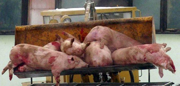 Цяла област в Словакия пламна от Африканска чума по свинете