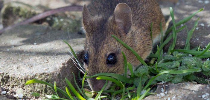 Мишки в двора, градината, реколта