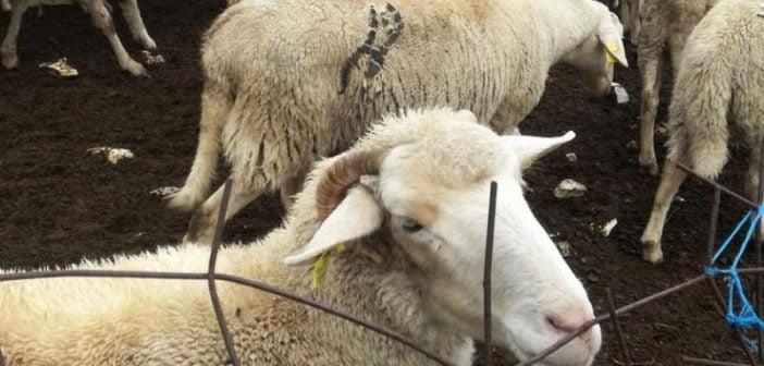 Овце Македония антракс