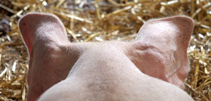 Прасе ,свиня