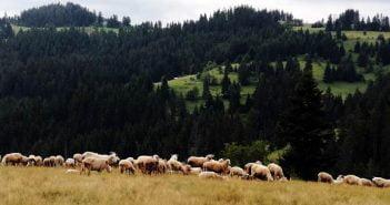 Овце село Момчиловци мандра